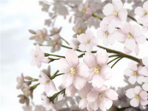 《除了美,日本人为何这么喜欢樱花?》