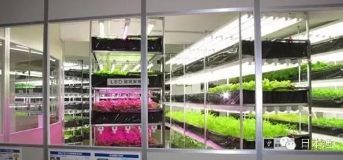 《带你参观日本的蔬菜工厂》