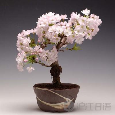 《樱花盆栽:足不出户 在家赏春》