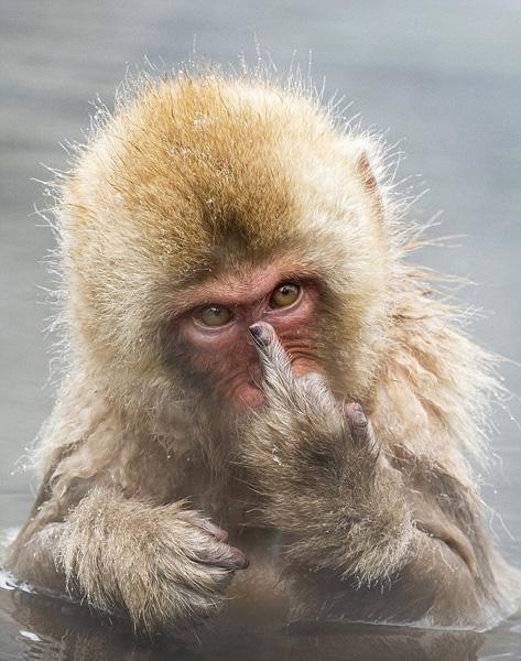 《日本猕猴泡澡发现被偷拍 竟竖中指抗议》