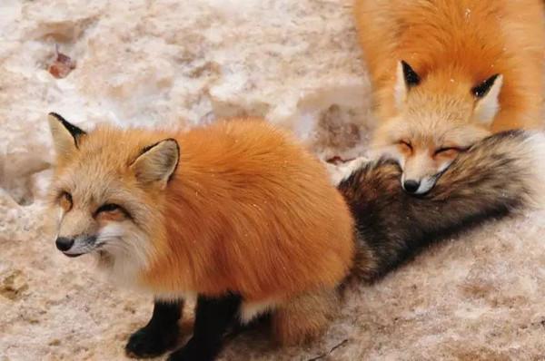 《在日本,看见狐狸娶亲是一件不详之事。》