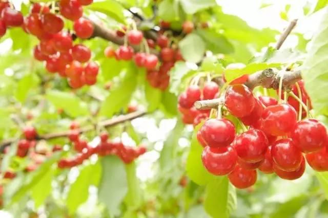 《去北海道芦别大桥樱桃园吃樱桃啦》